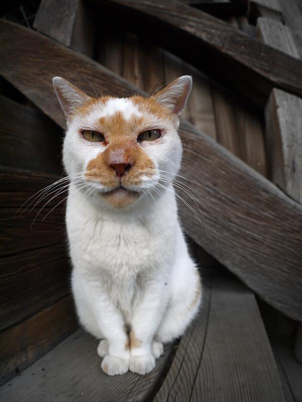 階段に座ってる白茶猫1