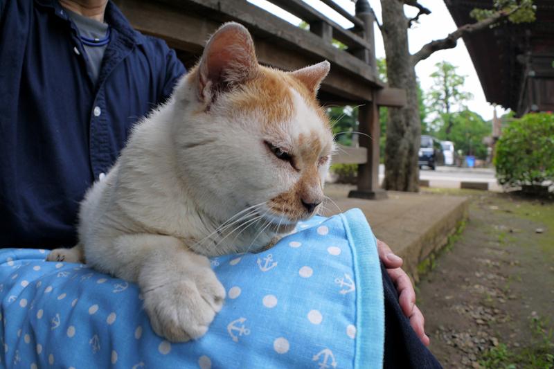 冷感シートの茶白猫2