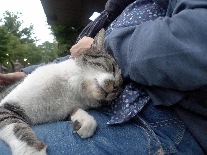 膝に乗って甘えるキジ白猫2