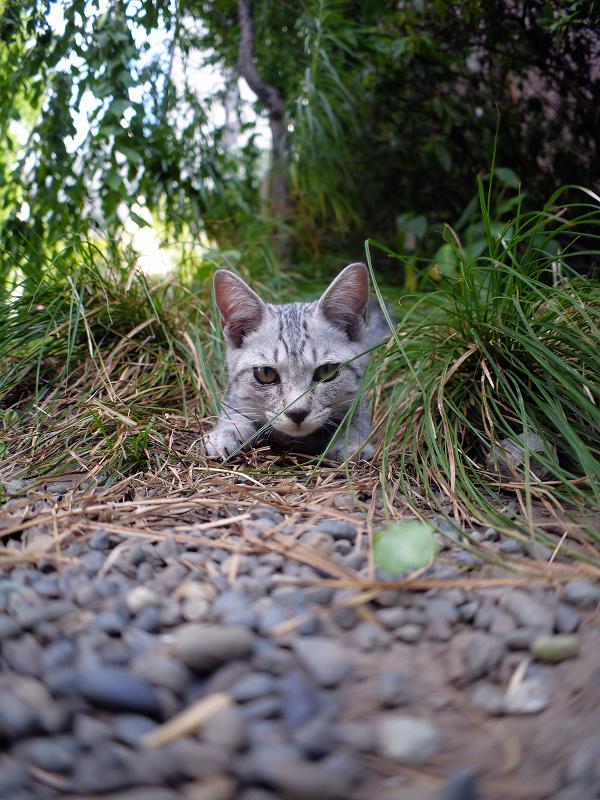 草むらから飛び出すサバトラ仔猫1