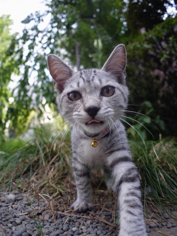 草むらから飛び出すサバトラ仔猫2