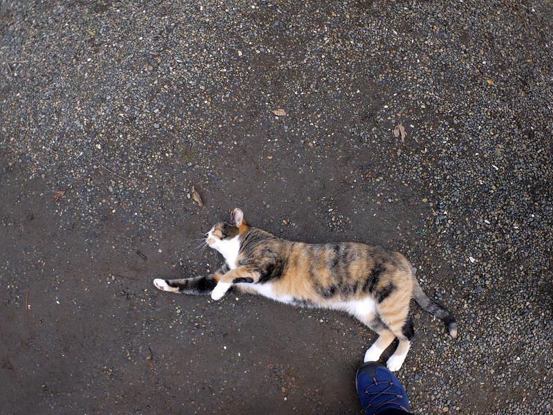 足元で横になる三毛猫1