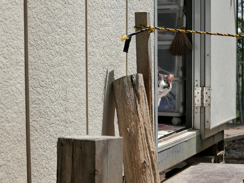プレハブハウスから見ている白黒猫1