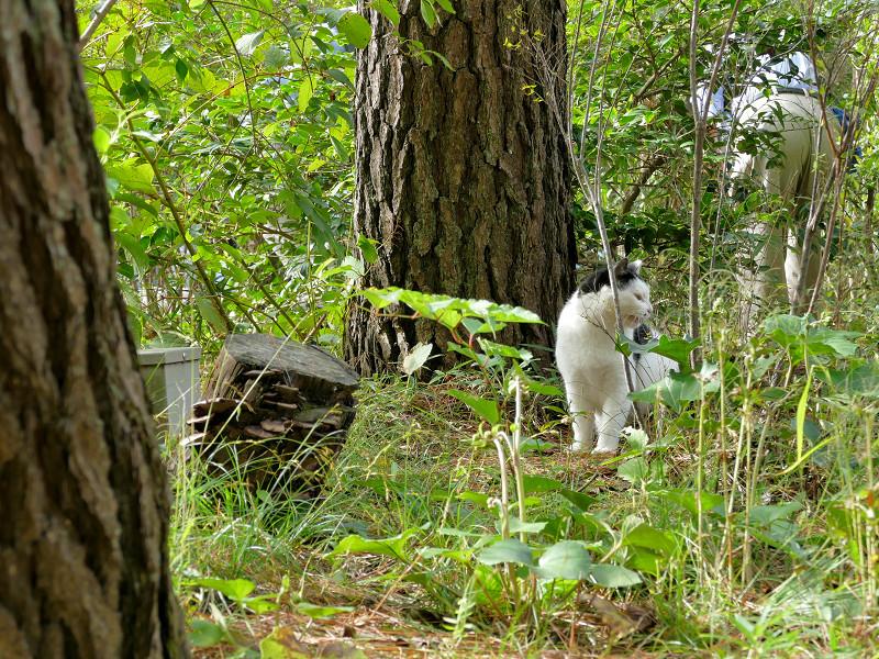茂みで怒ってる黒白猫1