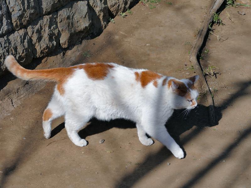 土参道を歩くシロ茶猫1
