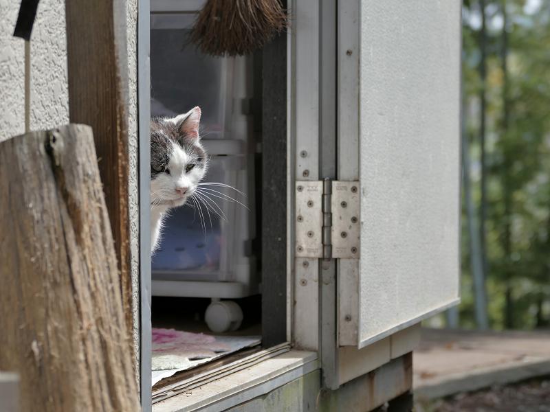 プレハブハウスから見ている白黒猫2