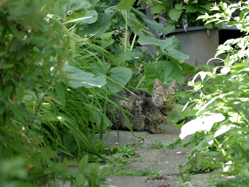 通路奥のサビ柄猫2