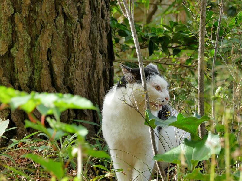 茂みで怒ってる黒白猫2