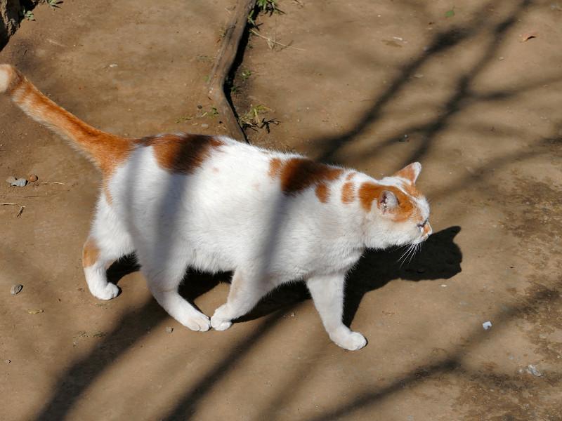 土参道を歩くシロ茶猫2