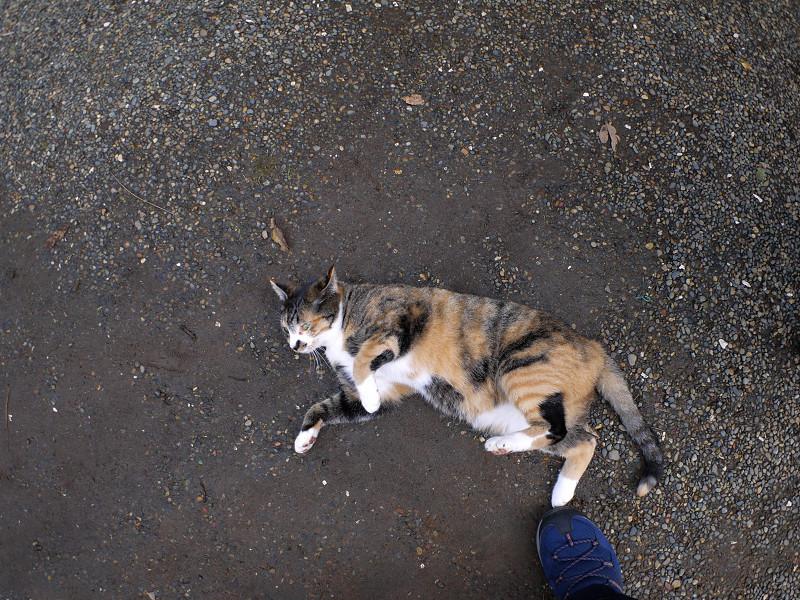 足元で横になる三毛猫3