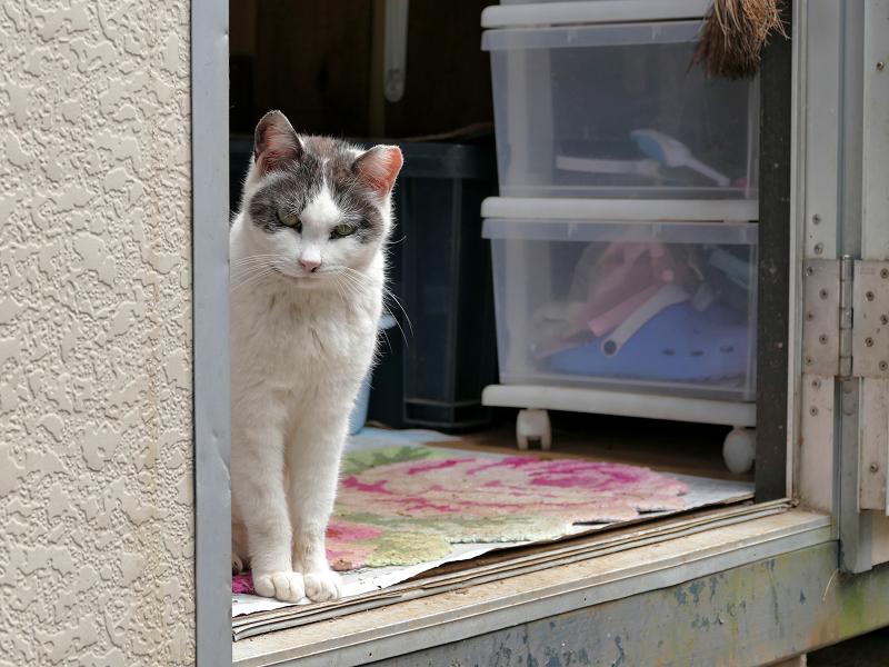 プレハブハウスから見ている白黒猫3