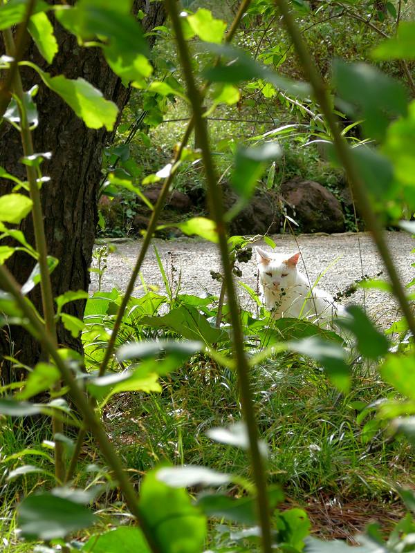 茂みで怒られた白茶猫