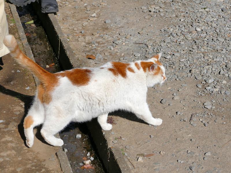 土参道を歩くシロ茶猫3