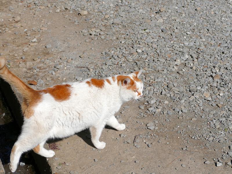 土参道を歩くシロ茶猫4