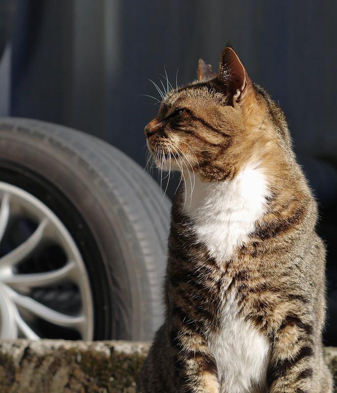 陽射しのキジ白猫1