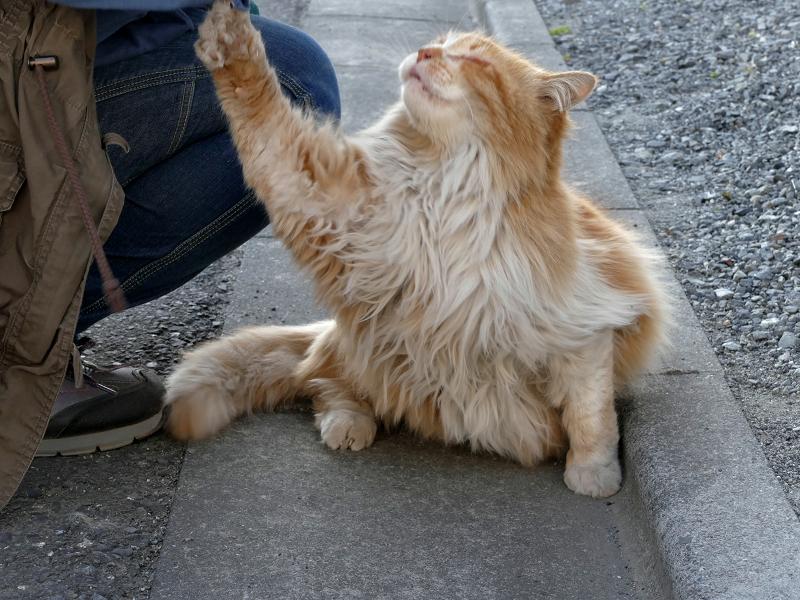 爪が袖に引っかかった毛長の茶白猫1