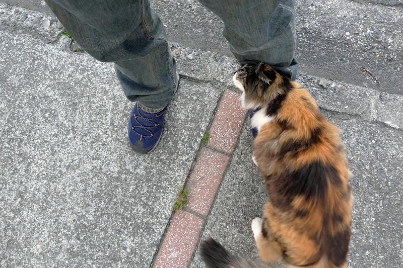 足に擦り付ける三毛猫1