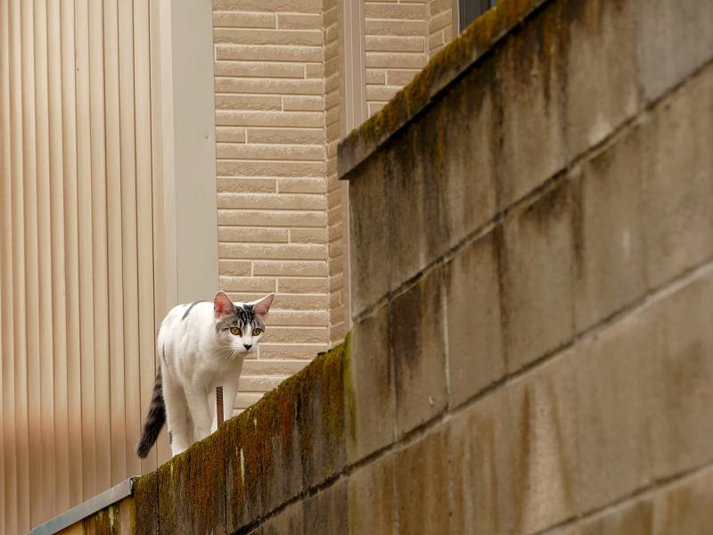 ブロック塀を乗り降りする猫たち1