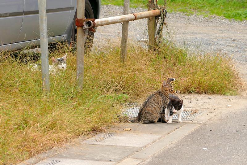 側溝の溝蓋の上の猫たち1