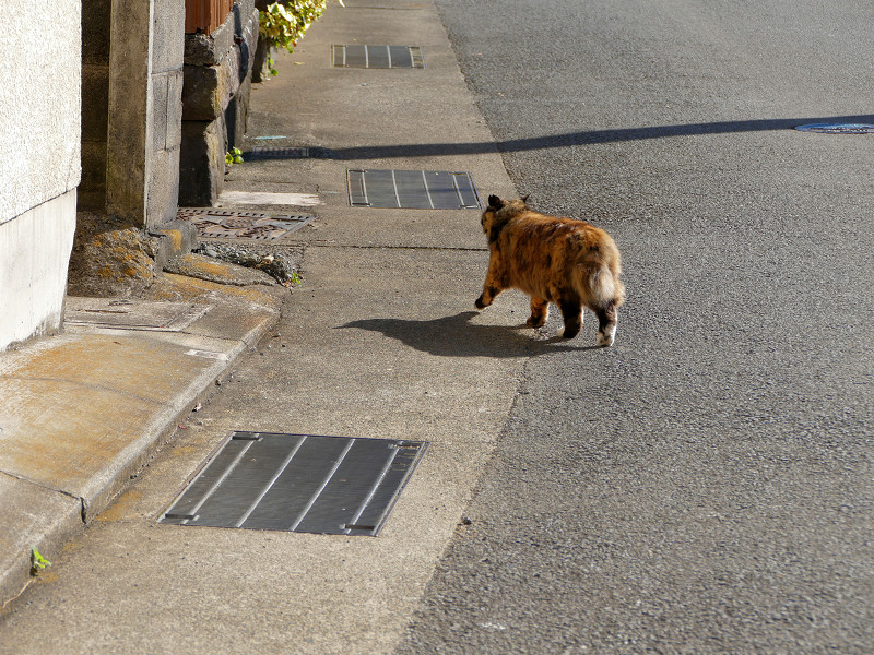 道路を横切る毛長のサビ猫1