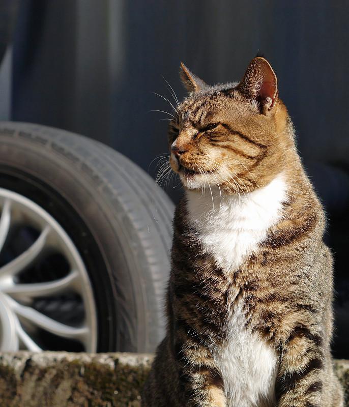 陽射しのキジ白猫2