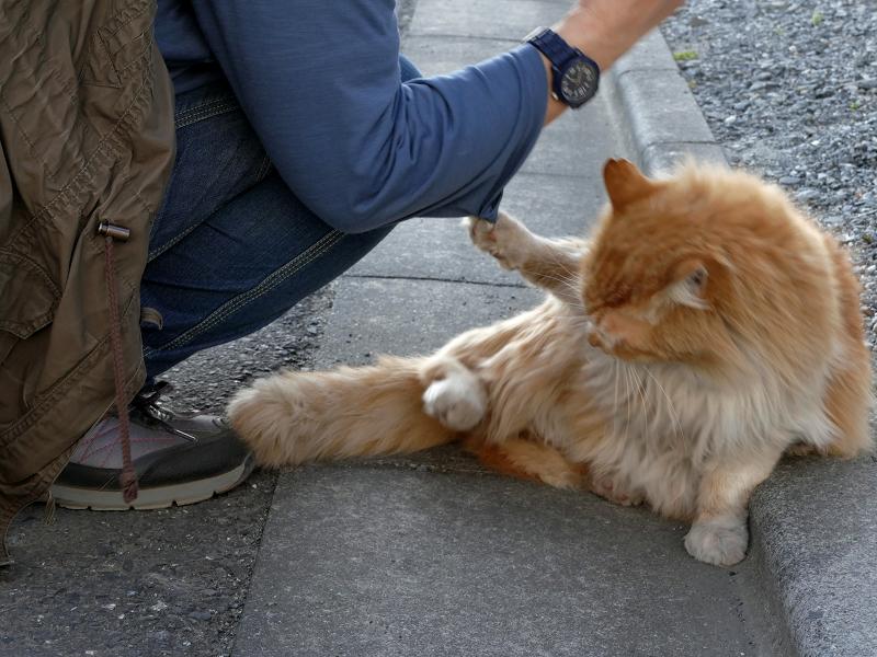 爪が袖に引っかかった毛長の茶白猫2