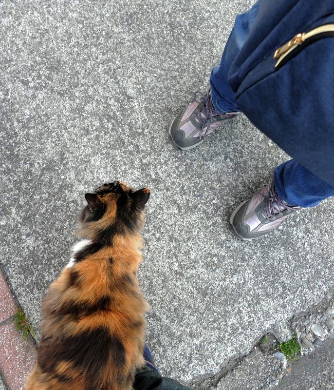 足に擦り付ける三毛猫2