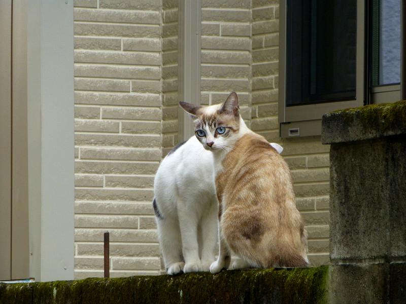 ブロック塀を乗り降りする猫たち2