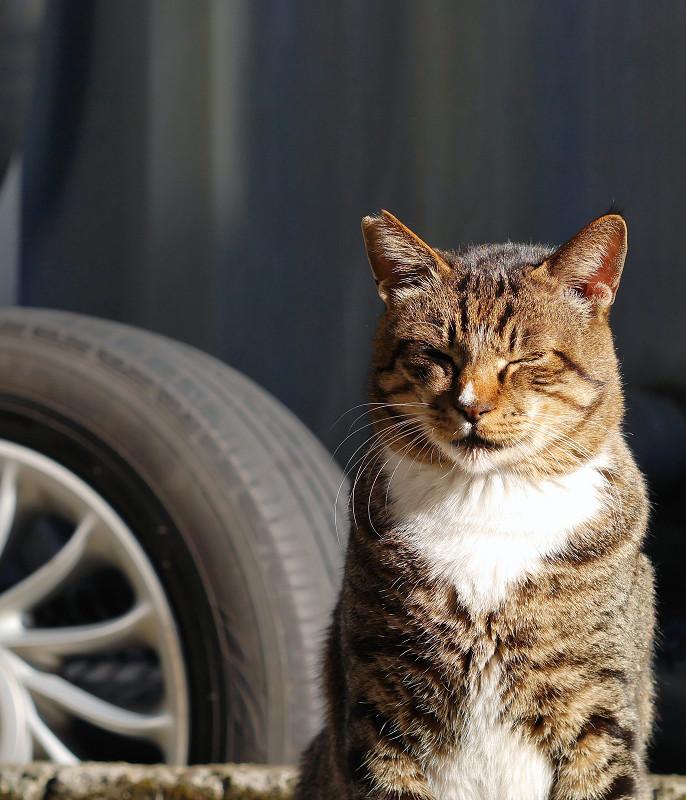陽射しのキジ白猫3
