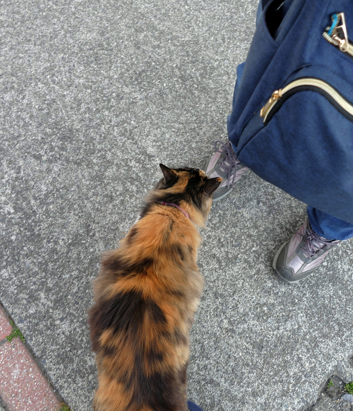 足に擦り付ける三毛猫3
