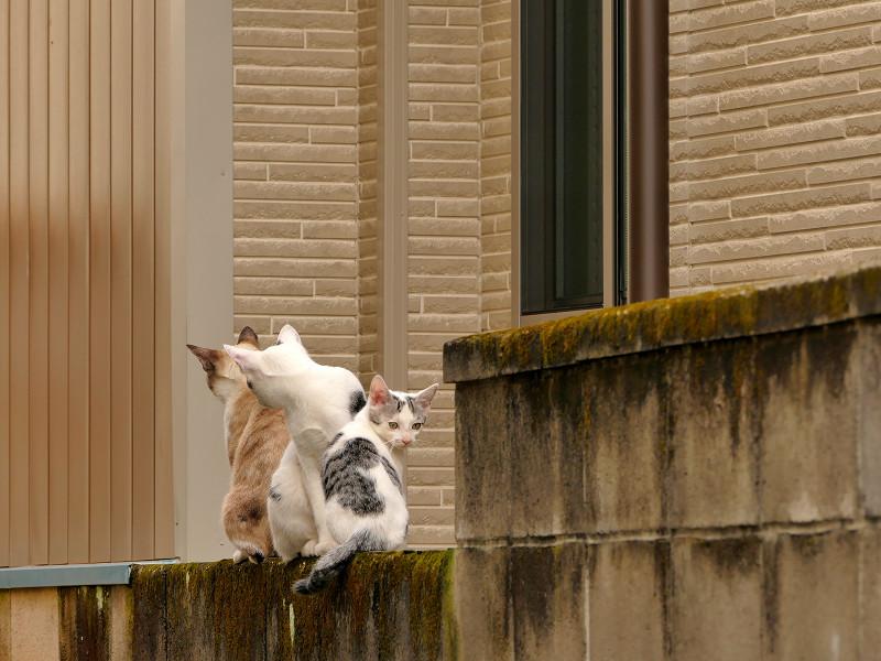 ブロック塀を乗り降りする猫たち3