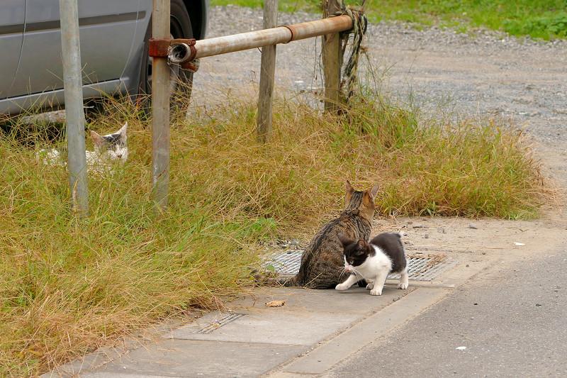 側溝の溝蓋の上の猫たち3