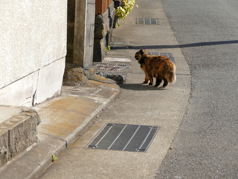 道路を横切る毛長のサビ猫4