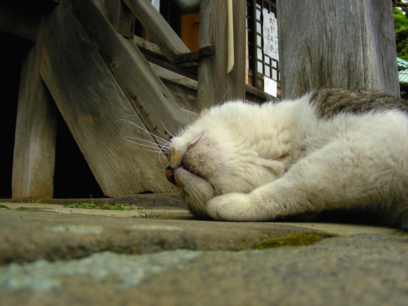 境内で寝そべっているキジ白猫1