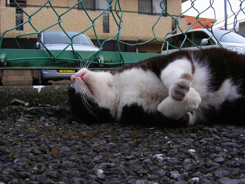 仰向けの黒白猫1