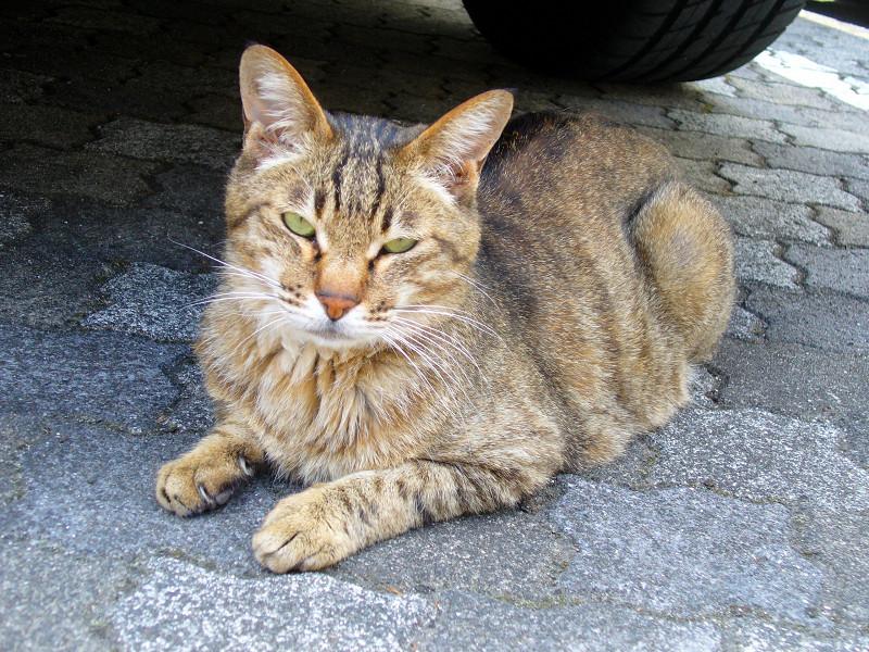 タイルで腹ばうキジトラ猫1