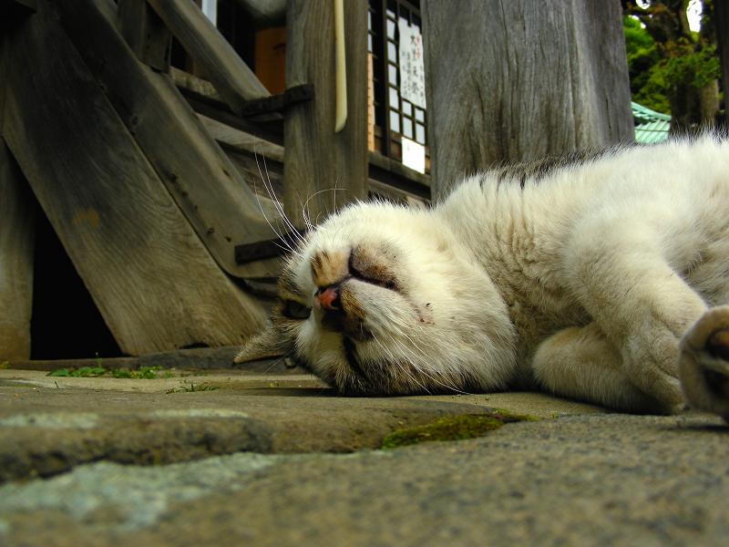 境内で寝そべっているキジ白猫2