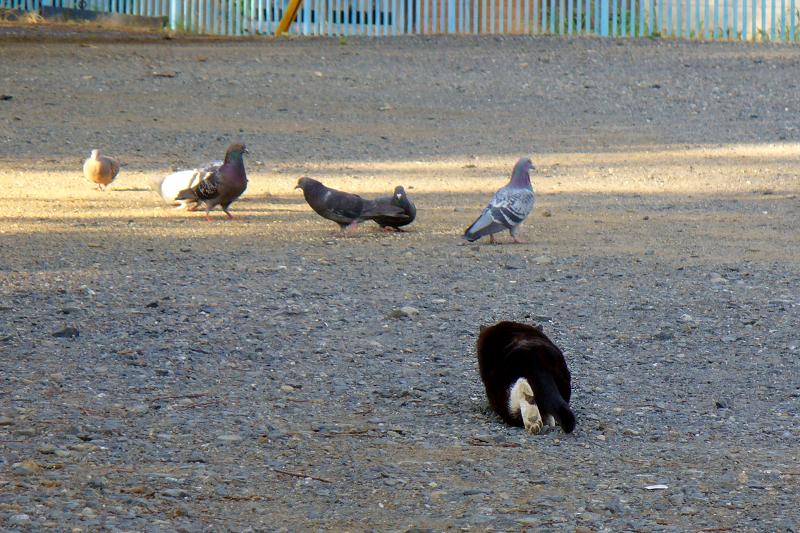 空き地で狩りをする黒白猫2