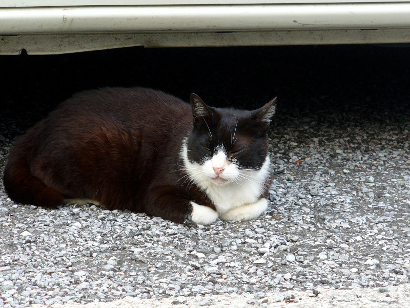 車の横の黒白猫2