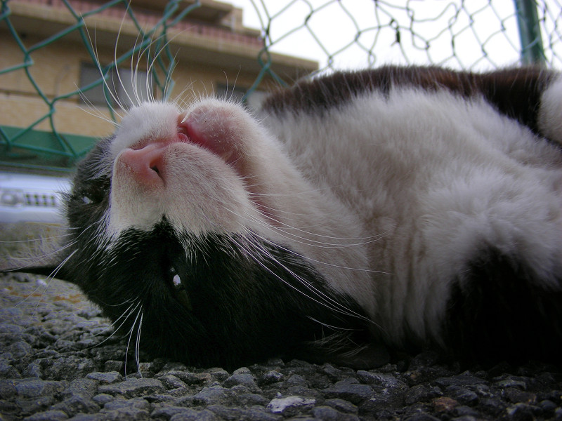 仰向けの黒白猫3