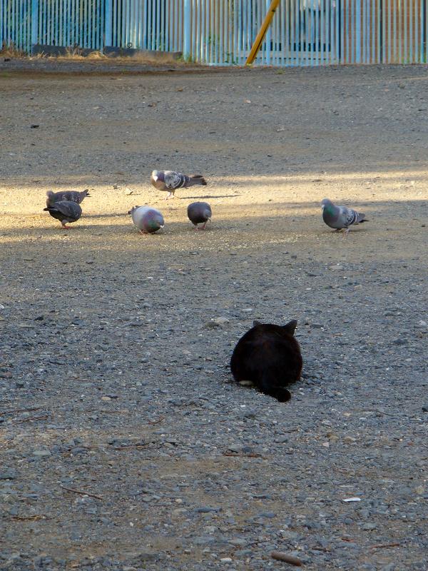 空き地で狩りをする黒白猫3