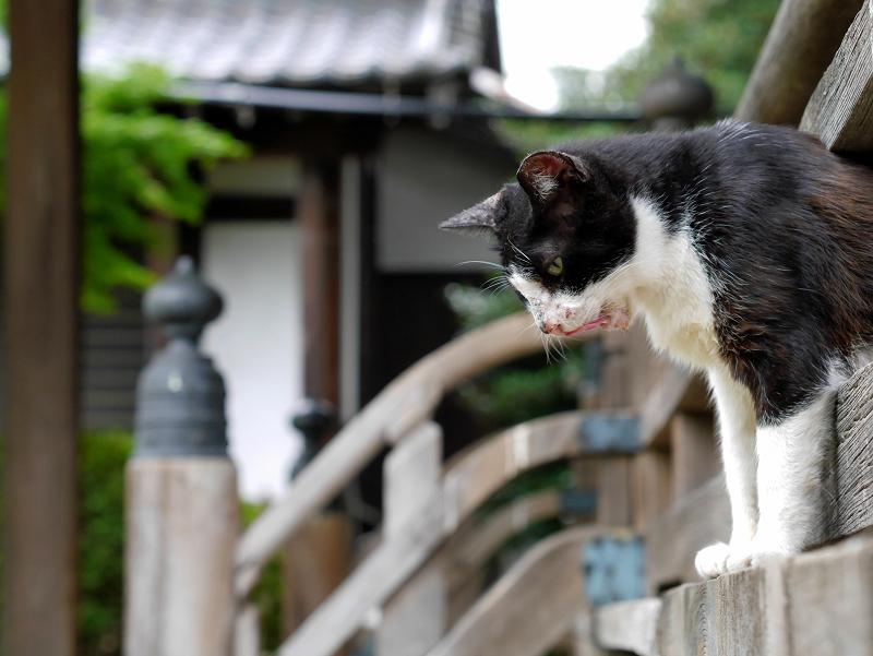 お堂階段欄干の黒白猫1