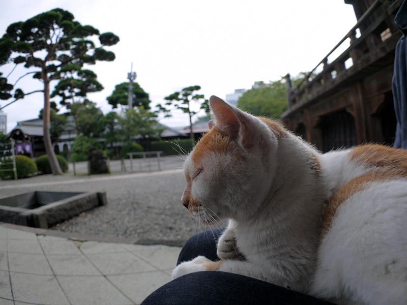 膝で微睡む白茶猫2