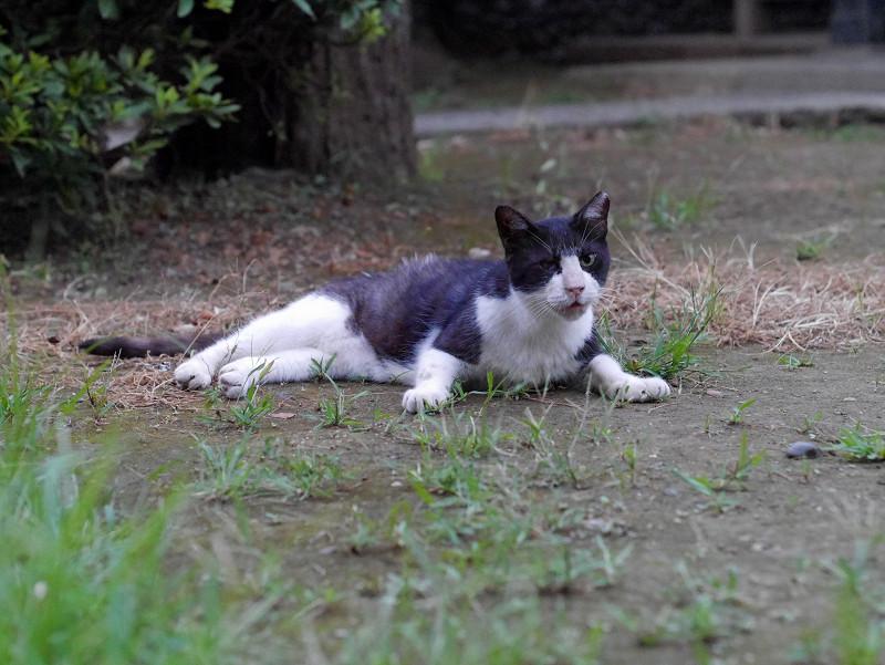 境内で鳴いているグレー白猫2