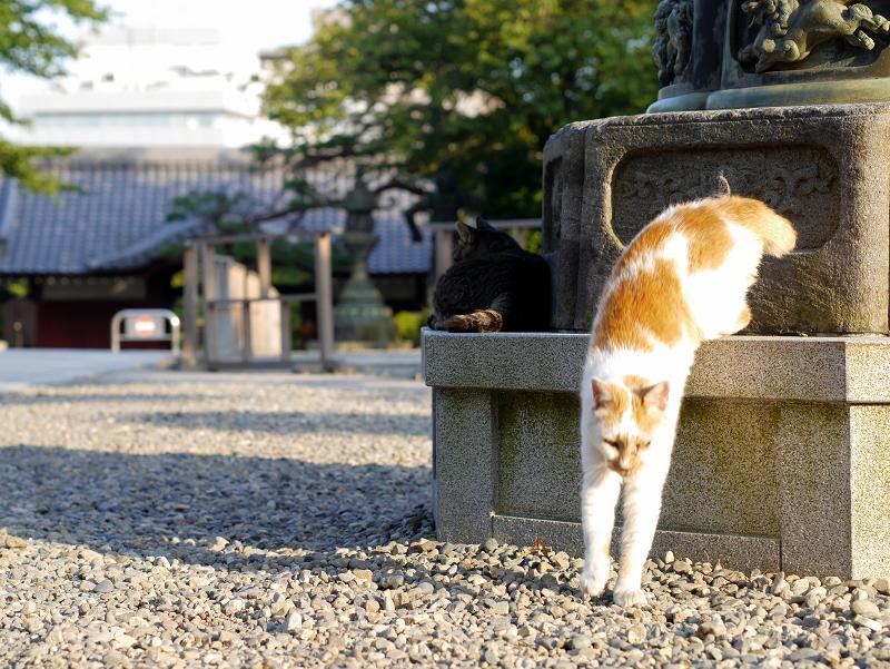 灯籠台座と白茶猫4