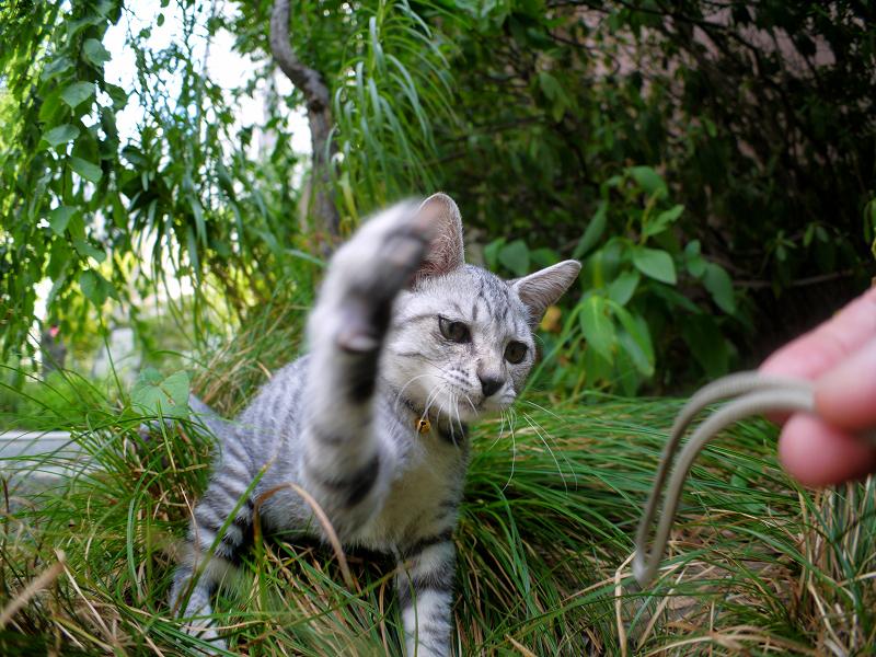 カメラのストラップで遊ぶサバトラ仔猫2