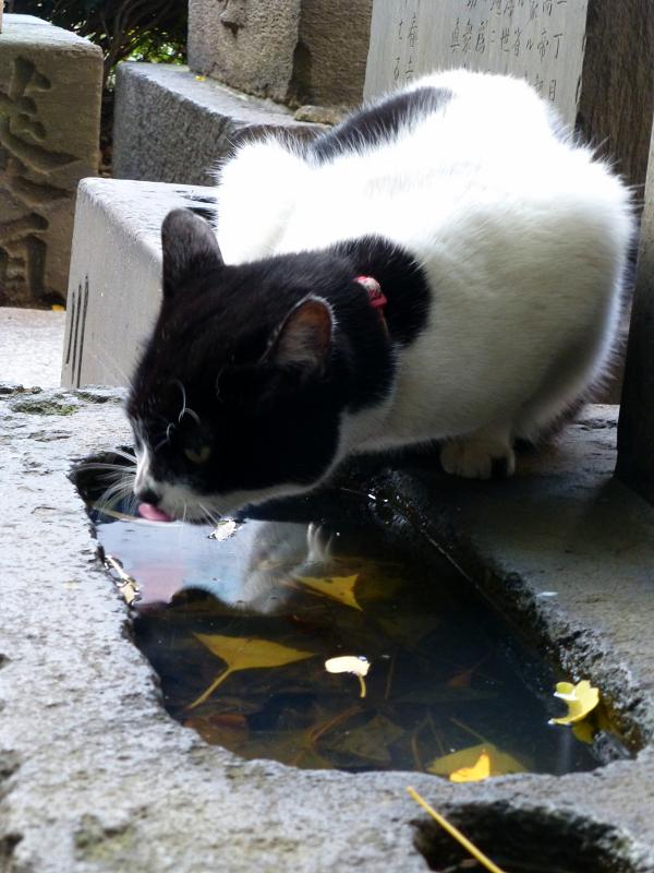 水を飲んでるらしい白黒猫1