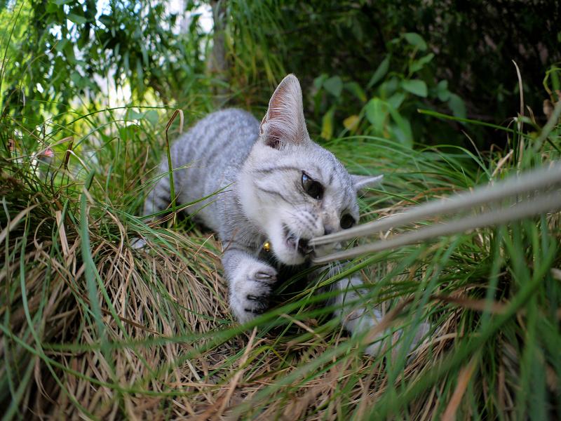カメラのストラップで遊ぶサバトラ仔猫3