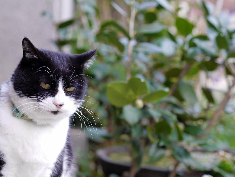 水を飲み終わった黒白猫2