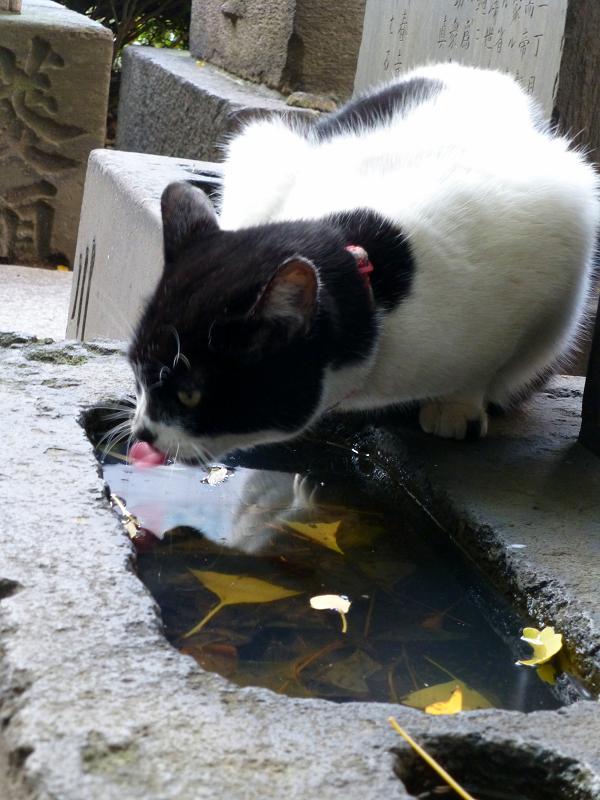 水を飲んでるらしい白黒猫2